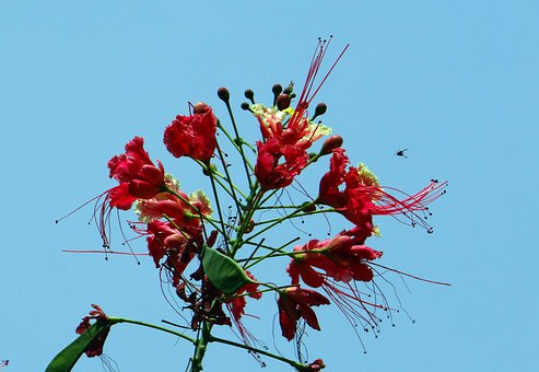 Peacock Flower, Pride Of Barbados, Dwarf Poinciana