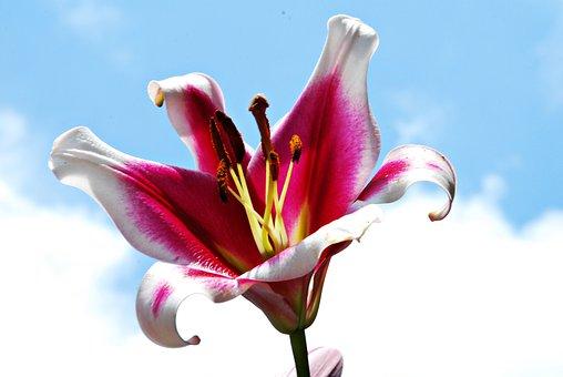 Lily, Flower, Nature, Sky, Garden