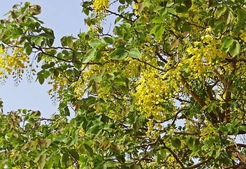 Cassia Fistula, Golden Shower Tree, Amaltas, Flowers