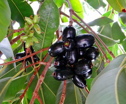 Blackberry, Jamun, Syzygium Cumini, Fruits, Tropical