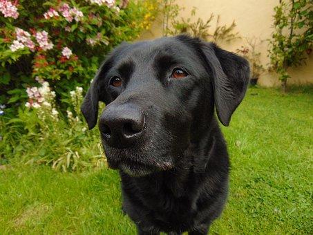 Labrador, Retriever, Lab, Black, Dog, Garden, Portrait