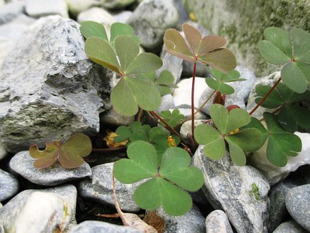 Lucky Clover, Green, Leaves, Heart Shaped, Stones