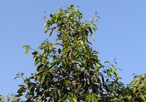 Jamun, Tree, Syzigium Cumini, Blackberry Tree, India