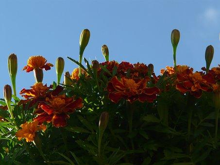 Marigold, Bud, Stalk, Leaves, Marigolds