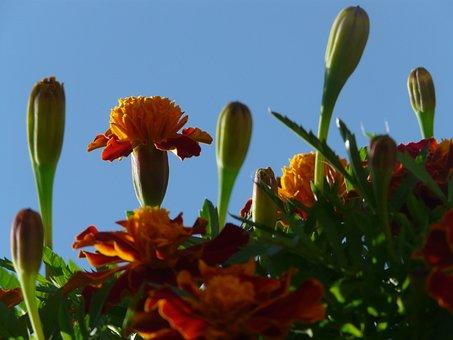 Marigold, Blossom, Bloom, Bud, Leaves, Marigolds
