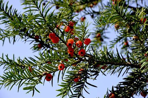 Yew, Red Fruits, Bush, Evergreen, Berry, Fruit, Conifer