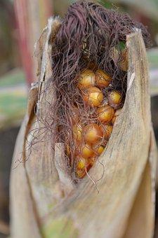 Corn, Corn Kernels, Harvest, Summer, Field