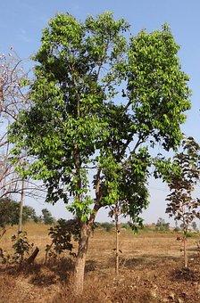Syzigium Cumini, Tree, Blackberry, Jamun, India