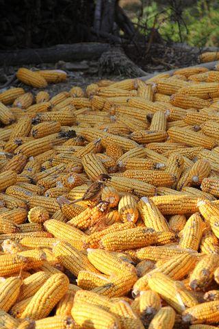 Corn, Yellow, Cob, Food, Vegetable, Harvest, Organic