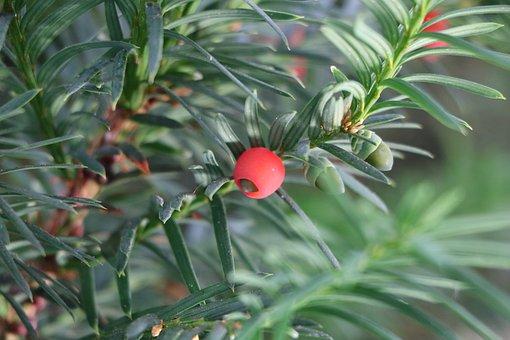 Yew, Fruit, Plant, Toxic, Berries, Yew Fruit