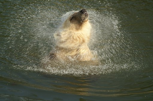 Polar Bear, Hybrid Bear, Animal, Predator, Bear