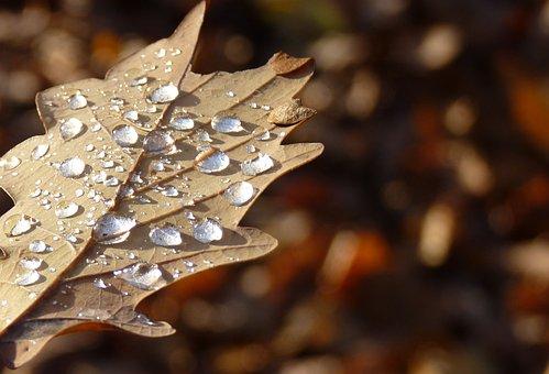 Leaf, Autumn, Drop Of Water, Dew, Oak Leaf, Macro