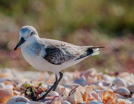 Calidris Alba, Bird, Nature, Outside, Country