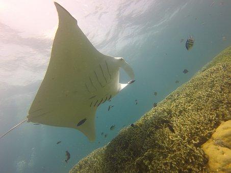 Manta Ray, Diving, Scuba, Yap, Micronesia, Sea, Manta