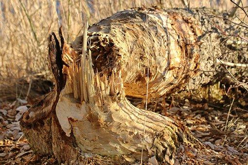 Beaver Eating, Tree, Like, Eroded