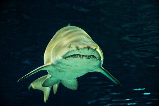Hai, Fish, Predator, Risk, Gloomy, Shark Teeth
