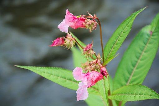 Impatiens Glandulifera, Flower, Pink, Blossom