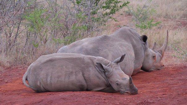 South Africa, Hluhluwe, Rhino, Animals, National Park
