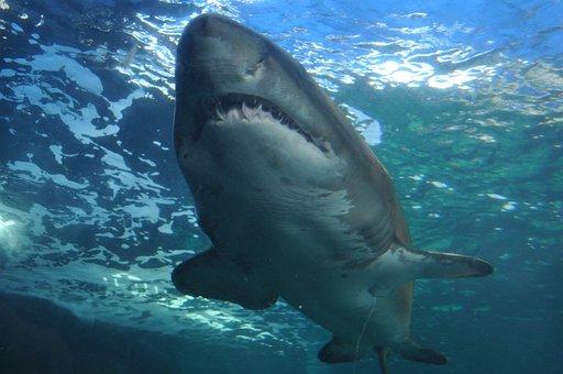 Shark, Sea, Ocean, Submarine, Dangerous, Animals, Teeth