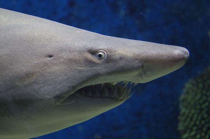 Shark, Animal, Sea, Teeth, Nature