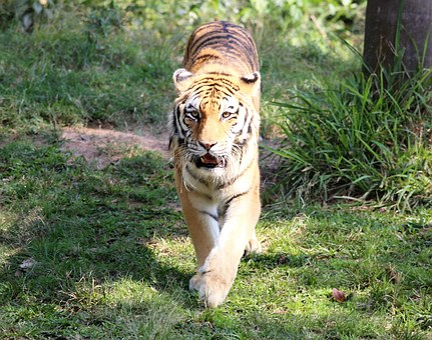 Tiger, Siberian, Zoo, Looking, Walking, Feline