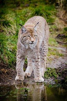 Animal, Big Cat, Feline, Grass, Lynx, Outdoors