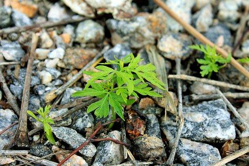 Plant, Branch, Leaf, Survivor, Stones