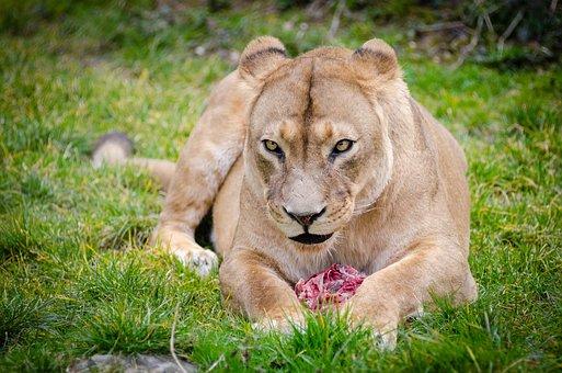 Animal, Animal Photography, Big Cat, Blur, Carnivore