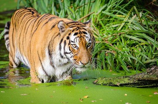 Animal, Big Cat, Carnivore, Cat, Close-up, Feline, Fur