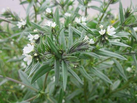 Buglossoides Arvensis, Field Gromwell, Corn Gromwell