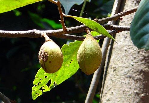 Kathalekan Marsh Nut, Tree, Critically Endangered