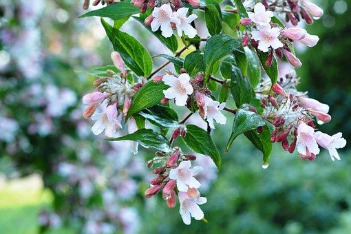Bush, Rosa, Flowers, Bloom, Flowering, Full Bloom