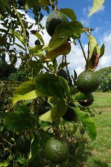 Avocados, The Shire, Pahoa, Hawaii, Fruit, Food, Ripe