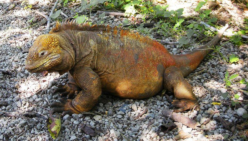 Iguana, Lizard, Reptile, Galapagos, Islands, Pacific