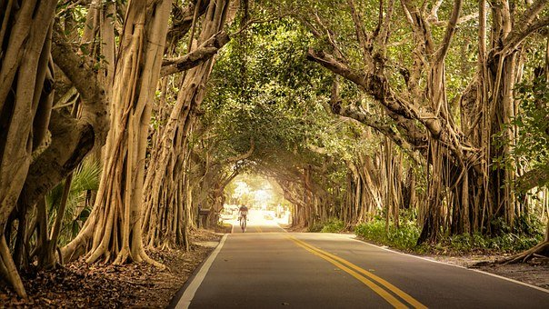 Road, Cyclist, Trees, Overhanging, Banyan, Bicycle