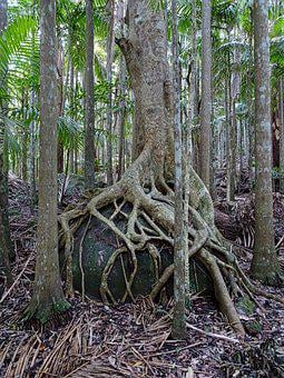 Strangler Fig, Trunk, Roots, Tree, Buttress, Tropical