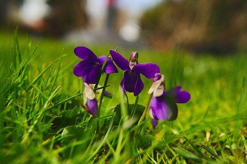 Viola Silvestris, Violets, Spring