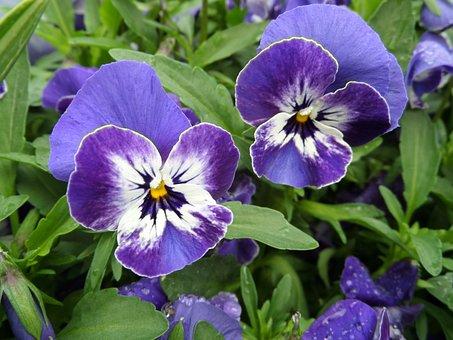 Pansy, Viola, Purple, Violet, Blue, Blossom, Bloom