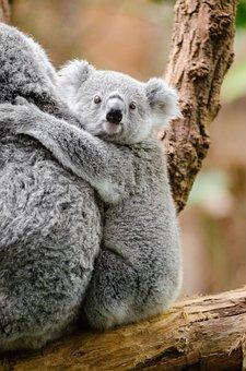 Adorable, Animal, Branch, Cute, Furry, Koala, Marsupial