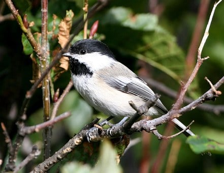 Bird, Chickadee, Capped, Black, Birds, Animals, Fauna