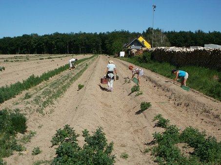 Schwetzingen, Asparagus, Harvest, Field, Vegetable