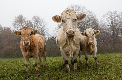 Cows, Kuhwiese, Calf, Organic Farming, Biological