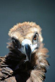 Buzzard, Bird, Raptor, Bird Of Prey, Looking, Curiously