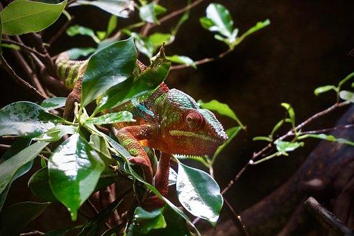 Chameleon, Animal, Close, Reptile, Colorful, Color