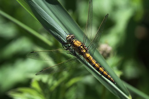 Dragonfly, Insect, Animal, Nature, Predatory Insect