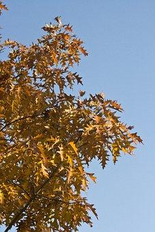 Emerge, Leaves, Oak, October, Autumn, Golden