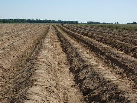 Fields, Asparagus, Food, Vegetable, Agriculture