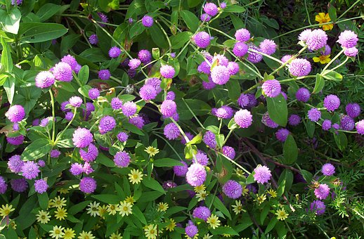 Gomphrena Globosa, Purple, Flowers, Violet