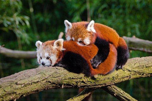 Animal, Red Panda, Cuddle, Cute, Environment, Fur
