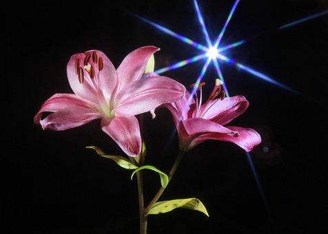 Lily, Flower, Pink, Star, Light, Lense Flare, Natural